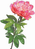 Пион r-touch 88H цв.розовый - Искусственные растения из Голландии высокого качества, искусственные цветы...